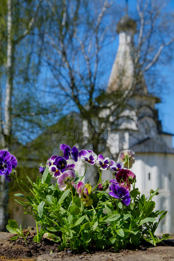 Violets in a church garden. At spring royalty free stock images