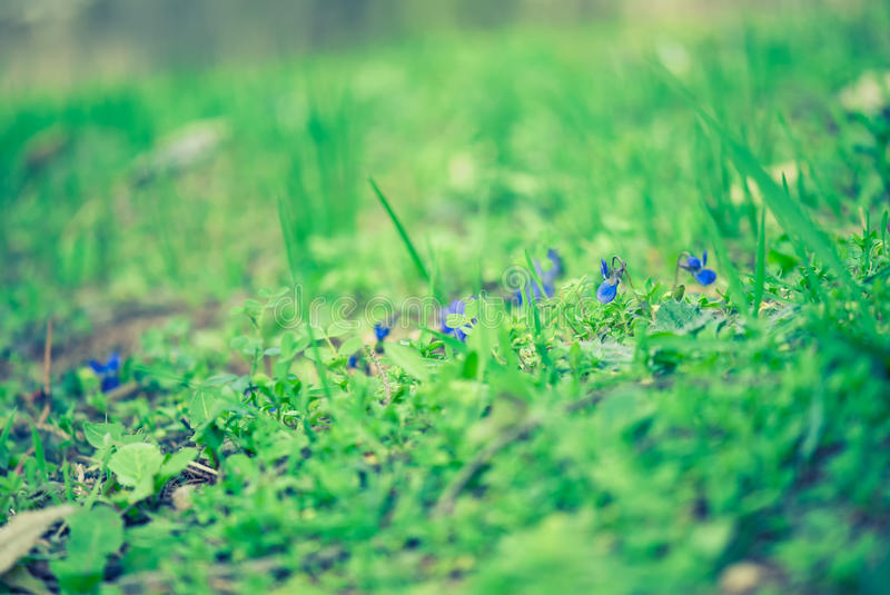 Violets among emerald grass. With shallow depth of field royalty free stock image