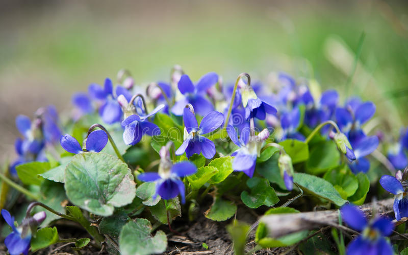 Violets flowers. Blooming in spring meadow royalty free stock photos