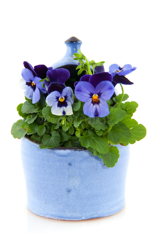 Violets for the garden stock images