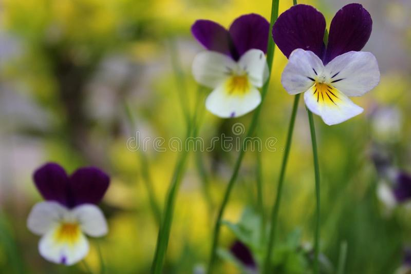 Violets in a meadow stock photos