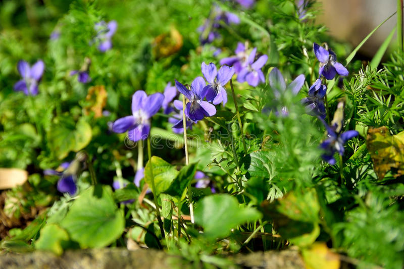 Violets royalty free stock photo