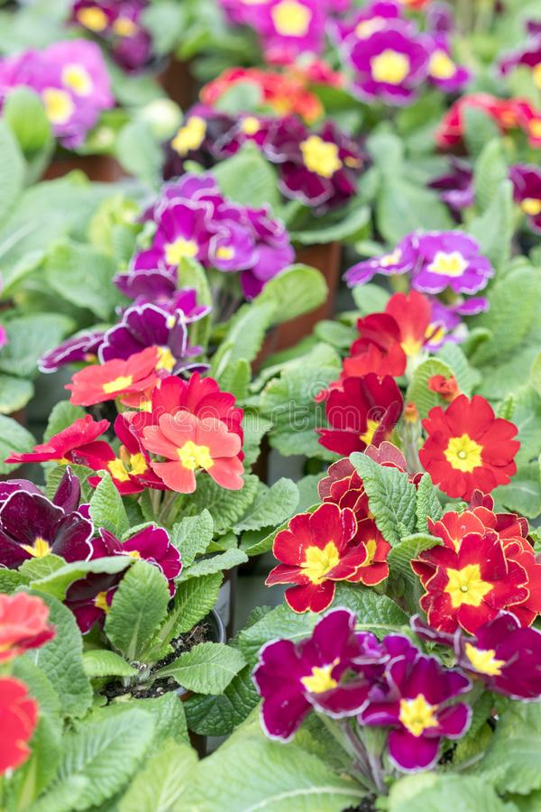 Violets on a spring bed. Care of the garden. flowering violets. Multicolored flowers on a flower bed stock image
