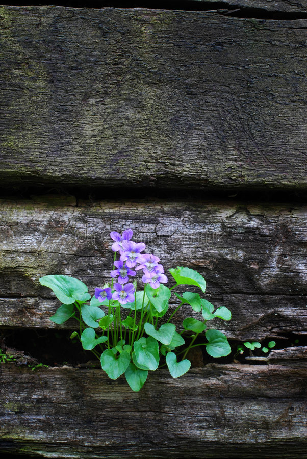 Download Violets On A Wall With Copy Sp Stock Image - Image: 2348625