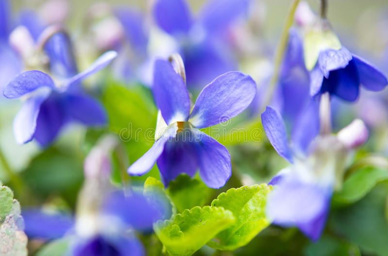 Violetsblommor royaltyfri bild