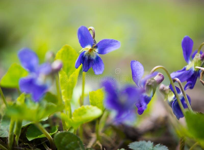 Violetsblommor arkivfoto