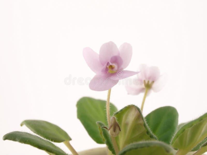 violett royaltyfria bilder