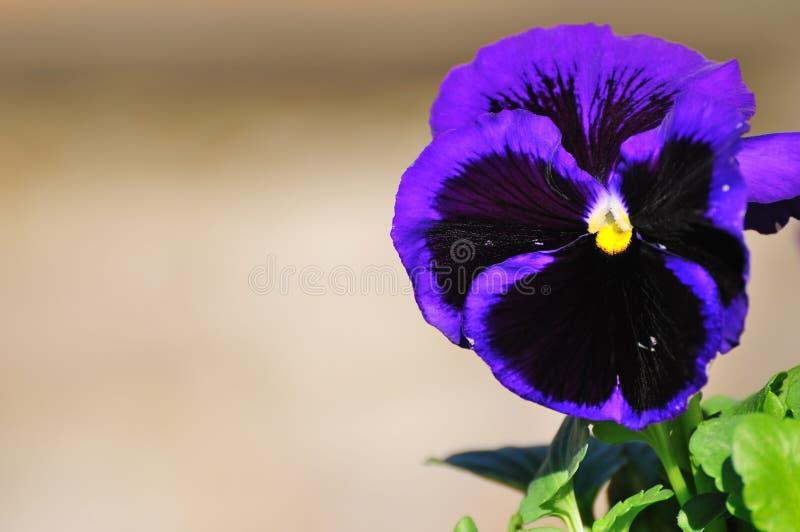 Violett stockbild