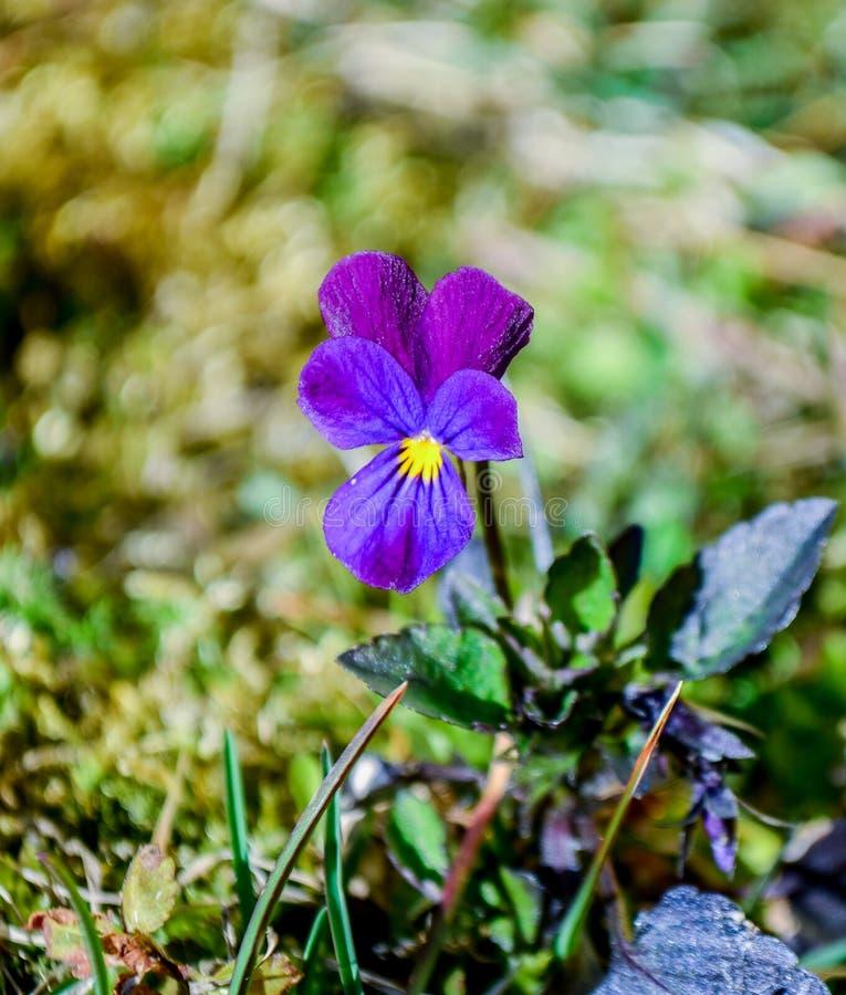 violett fotografering för bildbyråer