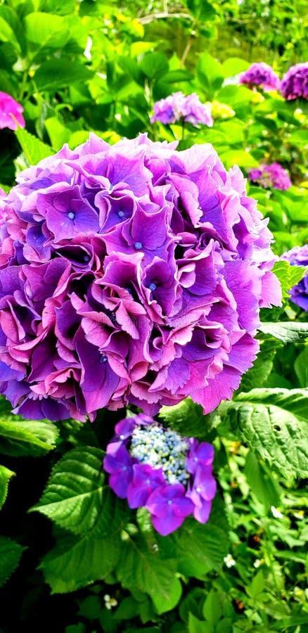 Violett ajisai arkivfoto