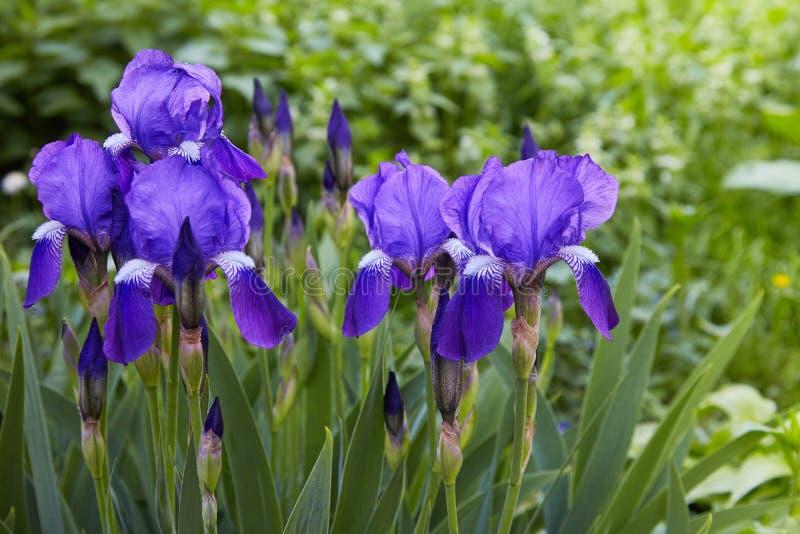 Violett-blått blommor av irisgermanicaen för skäggig iris fotografering för bildbyråer