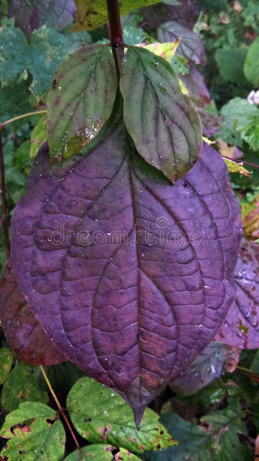 Violett blad royaltyfri foto