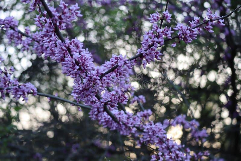 Violett blad royaltyfria bilder
