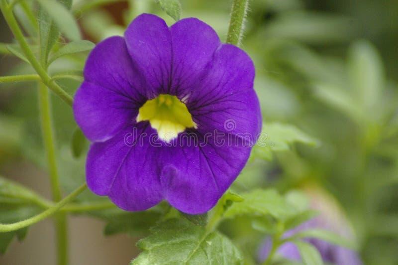 Violett blom fotografering för bildbyråer