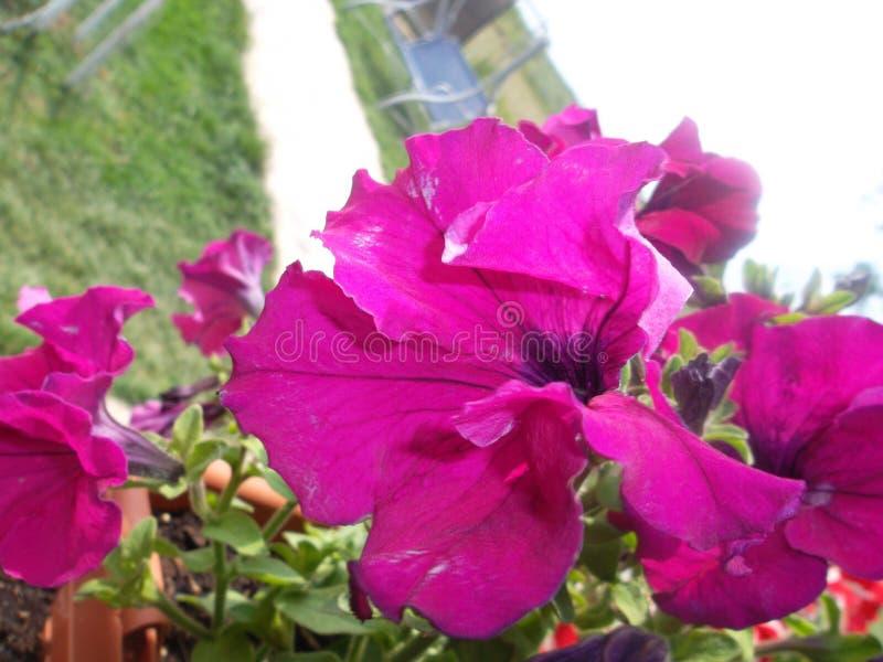 Violett blomma arkivbilder