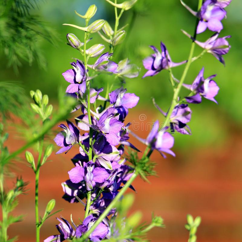 Violett blomma: Consolidaajacis eller tvivelaktigt riddare` s sporrar, flyger riddarsporre arkivbild