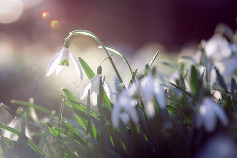 Violett blomma för Shiner i vårtid arkivfoton