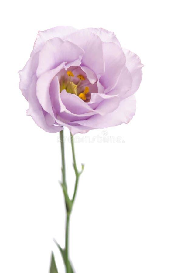 Violett blomma för skönhet Eustoma arkivfoton