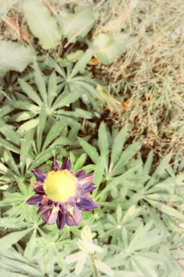 Violett blomma från den Moravian skogen royaltyfri foto