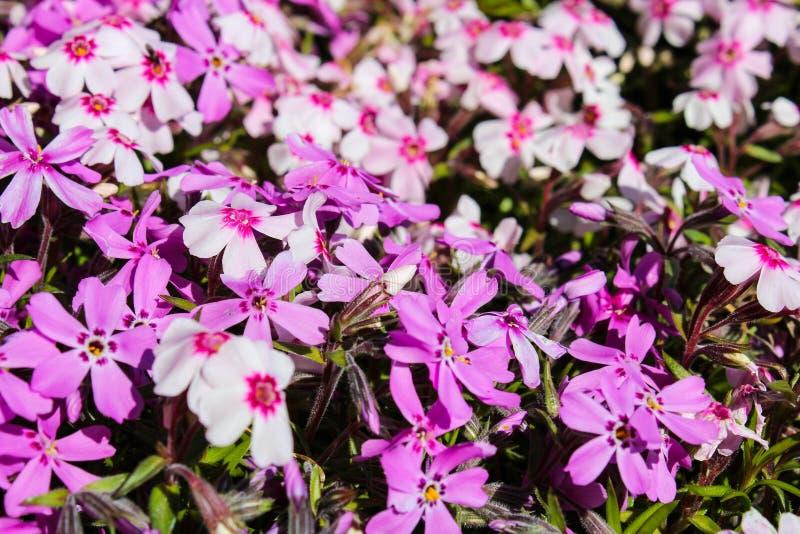 Violett blomma, makrofoto fotografering för bildbyråer