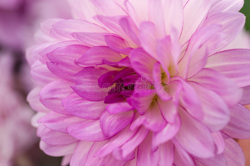Violett dahliamakro arkivbilder