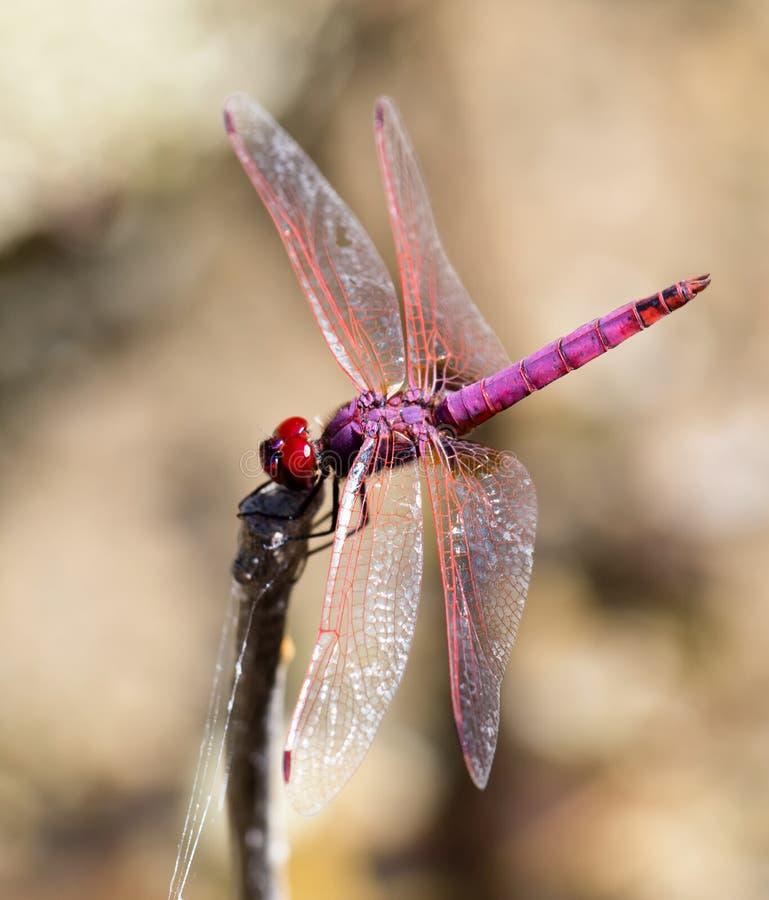 Violett dropwing slända i Kreta arkivfoton