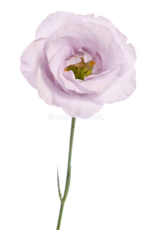 violett eustomablomma för skönhet royaltyfria foton