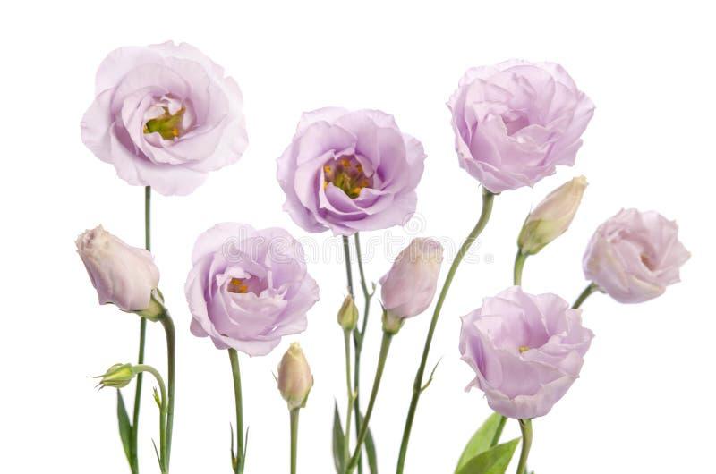 violett eustomablomma för skönhet royaltyfria bilder