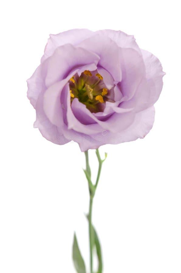 violett eustomablomma för skönhet arkivfoton
