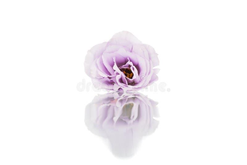 Violett eustomablomma för skönhet som isoleras på vit bakgrund arkivbild