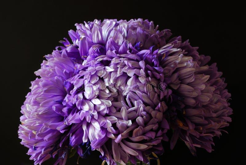 Violett-farbiges Bündel üppige Blumen auf dem dunklen Hintergrund stockbild