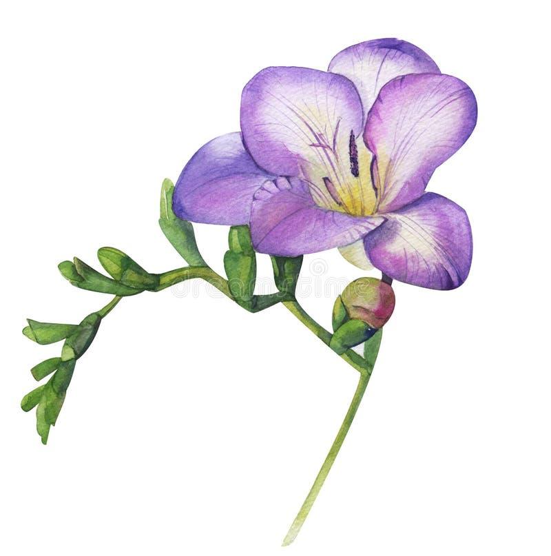 Violett freesia för vattenfärghand Försiktigt doftande purpurfärgad blommafilial Kvinnlig blom- illustration som isoleras på vit vektor illustrationer