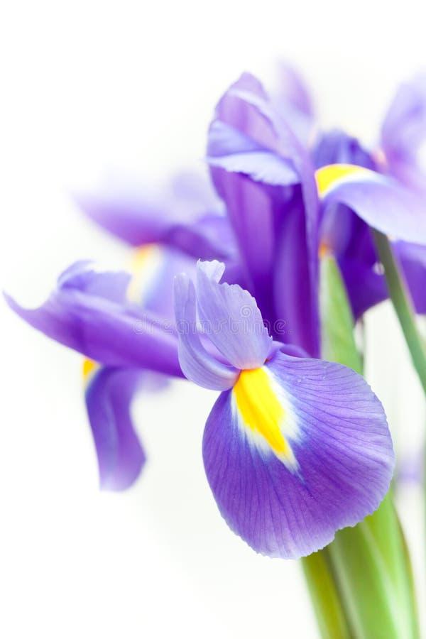 Violett gul svärdsliljablueflagblomma royaltyfri foto