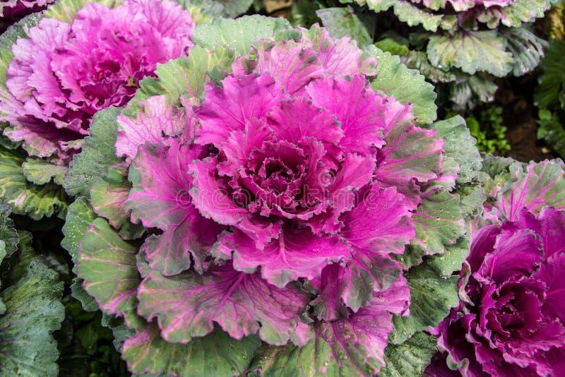 Violett kål royaltyfri bild