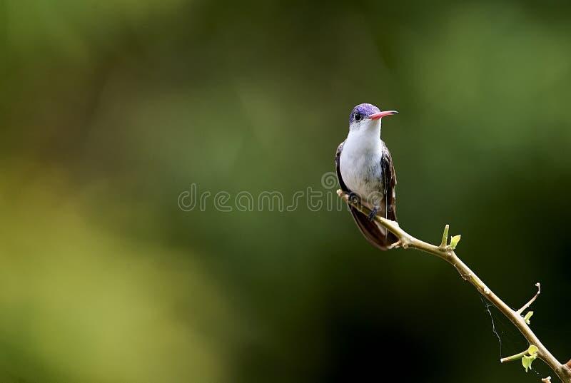 Violett-krönad kolibri som sätta sig på en filial royaltyfri foto