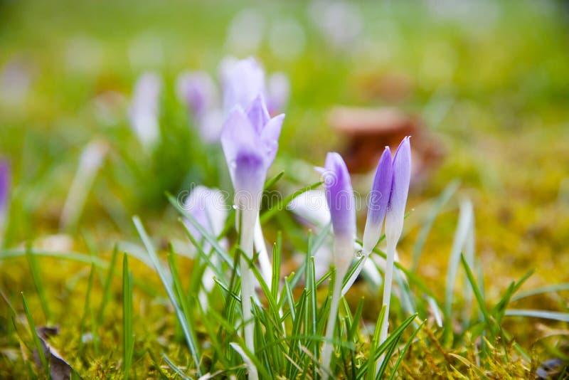 Violett krokus på en grön äng arkivbild