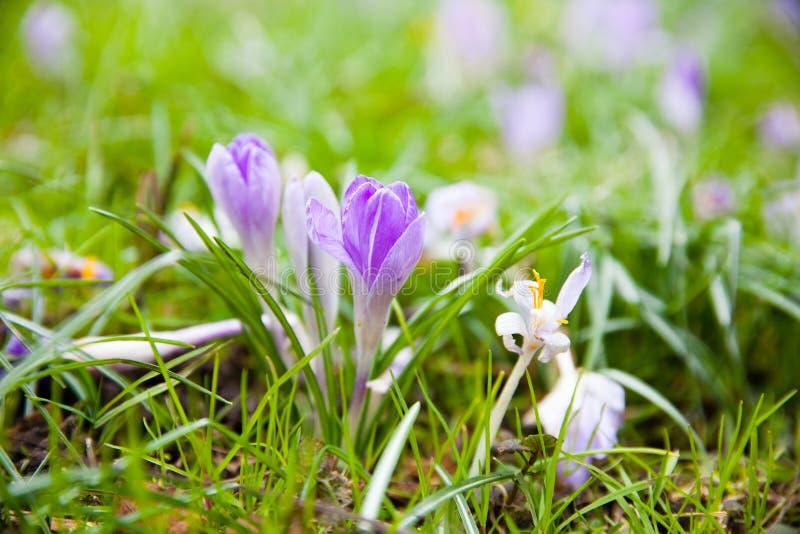 Violett krokus på en grön äng fotografering för bildbyråer