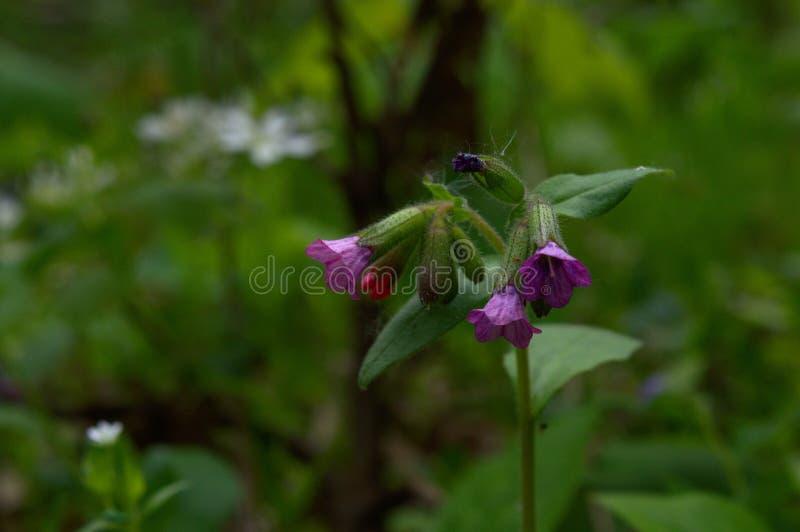 Violett lös blåklocka arkivbild