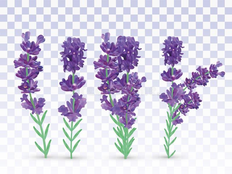 Violett-Lavendel mit grünem Blatt auf transparentem Hintergrund isoliert Strauchblume Lavendel-Nahaufnahme Fragment lizenzfreie abbildung