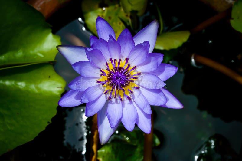 Violett lotusblomma arkivbilder