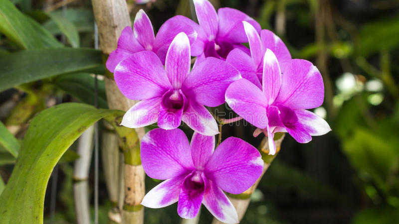 Violett orchid royaltyfria foton