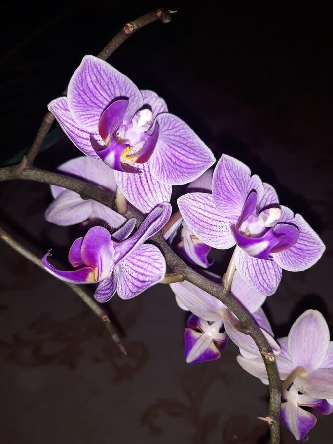 Violett orchid royaltyfri foto