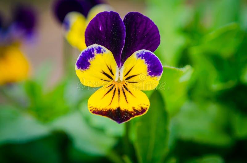 Violett penséblomma, närbild av den tricolor på våren trädgården för altfiol, closeup, bakgrund royaltyfria bilder