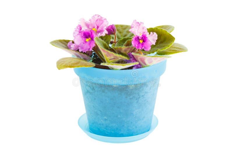 violett Raumblume im blauen Blumentopf stockfotografie