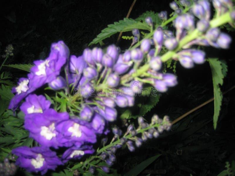 Violett riddarsporre arkivbild