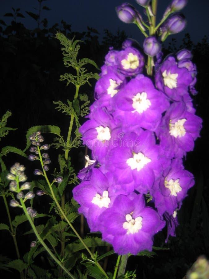 Violett riddarsporre fotografering för bildbyråer