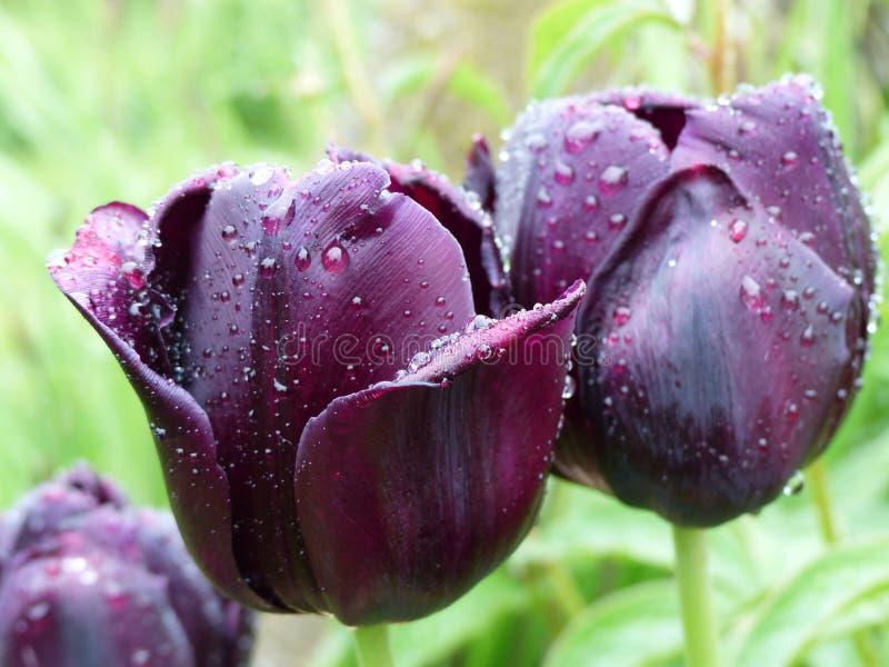 Violett-schwarze Tulpen stockfotos