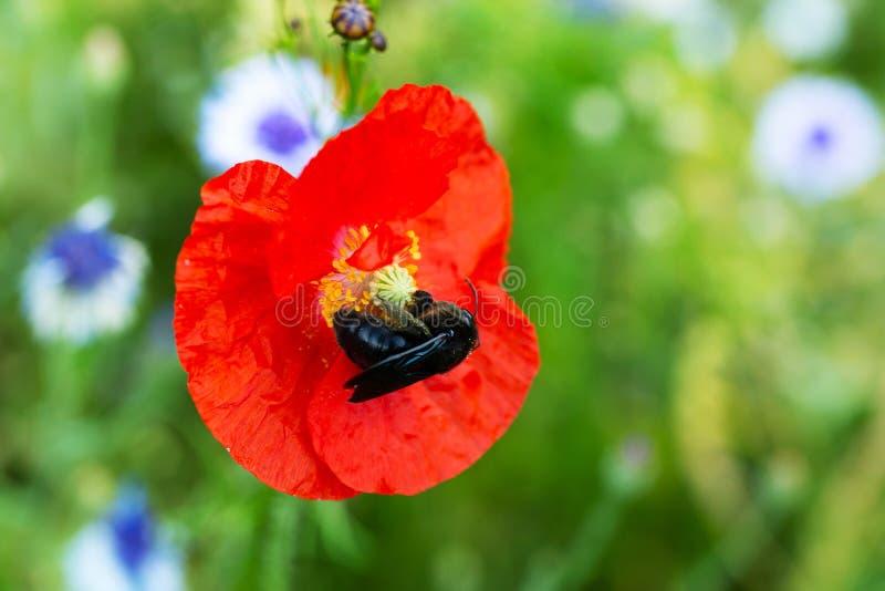 Violett snickarebi som sitter på en rött vallmoblomning, pollination och djurliv arkivfoton