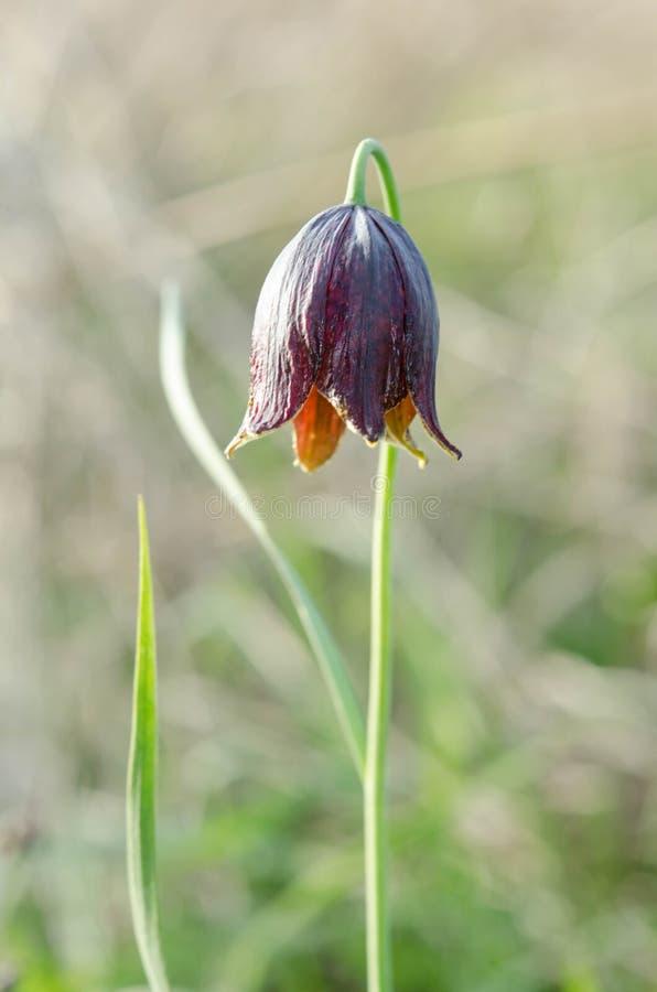 Violett tulpan på naturbakgrund royaltyfri fotografi