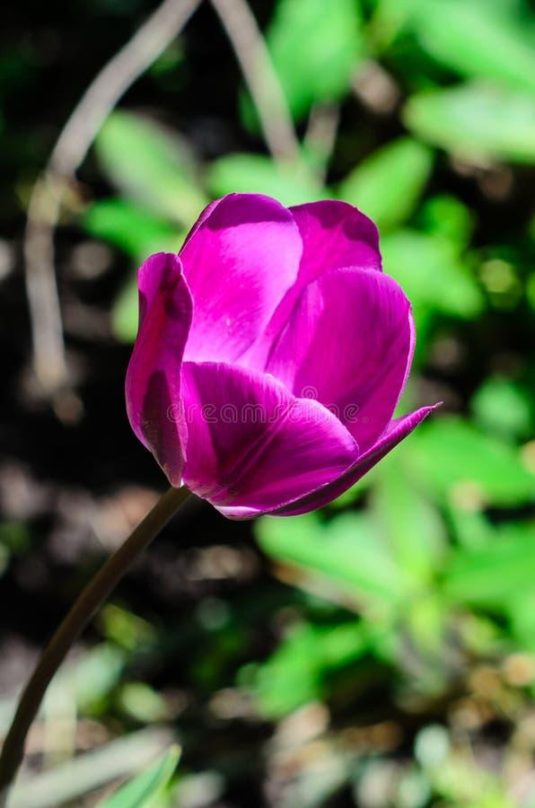 Violett tulpan p? blomsterrabatt royaltyfria bilder